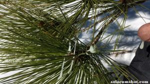 Cum on pine needles